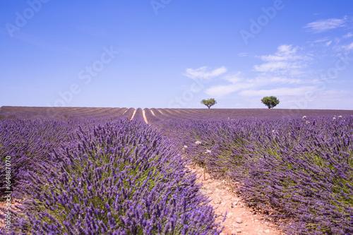 Fotobehang Lavendel Lavender field in Provence, France