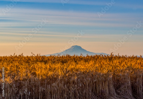 Ready for Harvest in Wasco County, Oregon Canvas Print