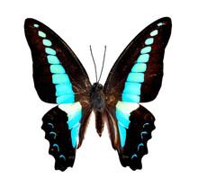 Common Bluebottle Butterfly (G...
