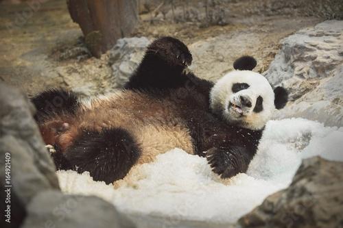 Zdjęcie XXL Panda