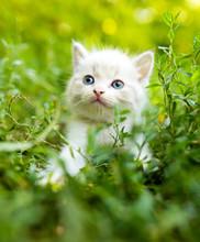 Little Kitten In Green Grass I...