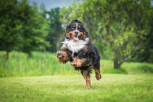 Happy Bernese Mountain Dog Pla...