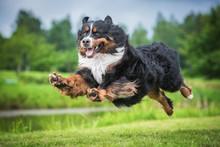 Bernese Mountain Dog Flying In...