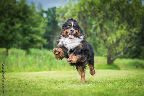 Happy bernese mountain dog playing in the yard Wallpaper Mural
