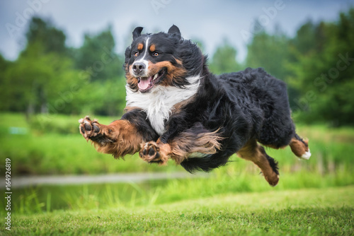 Bernese mountain dog flying in the air Canvas Print