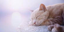 Art Sleeping Cat At Sunrise Of...