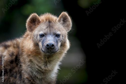 Fotobehang Hyena Hyena photographed at Nairobi National Park Kenya on 11/08/10 Photo: Michael Buch