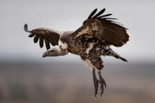 Vulture At Masai Mara Kenya. Photographed At Masai Mara Kenya On 30/08/10 Photo: Michael Buch