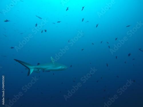 Plakat Rekin biały rekin polowanie na rafy na Malediwach