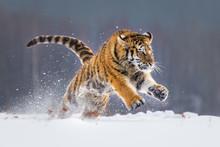Beautiful Young Siberian Tiger Enjoying His Typical Environment,.