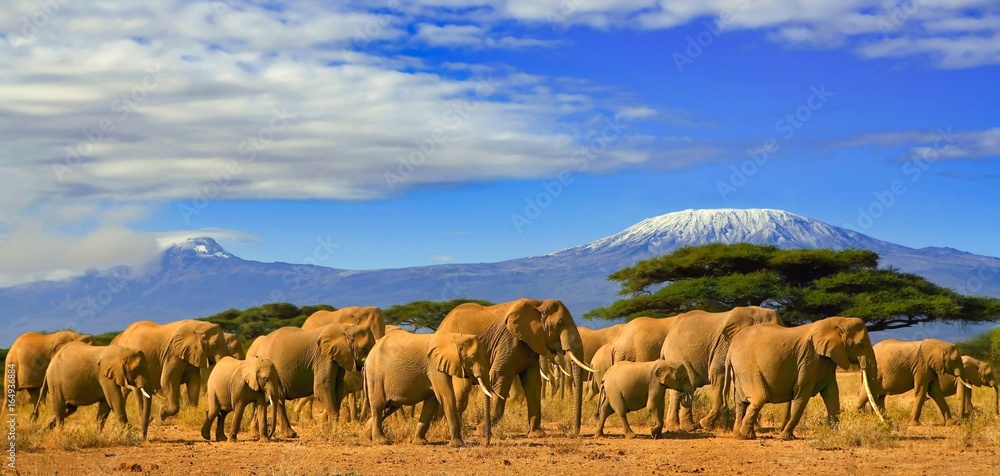 Fototapeta Herd of african elephants whilst on a safari trip to Kenya and a snow capped Kilimanjaro mountain in Tanzania in the background, under a cloudy blue skies.