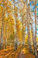 Obraz na Plexiautumn birch forest