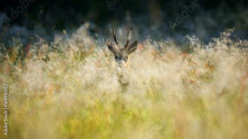 Stampa su Tela  Sarna / kozioł wśród traw na dzikiej łące