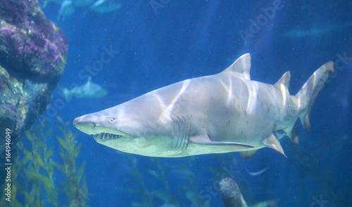 Plakat White Shark Underwater.