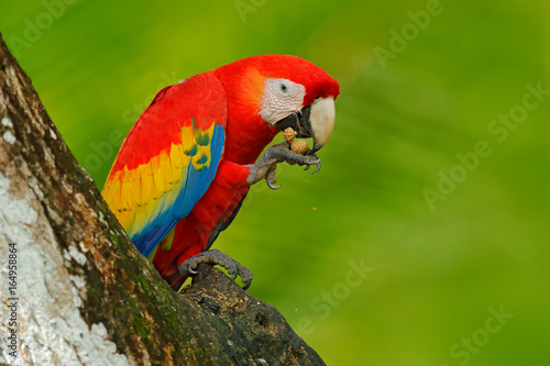 Spoed Foto op Canvas Natuur Parrot Scarlet Macaw, Ara macao, in green tropical forest with nut, Costa Rica, Wildlife scene from tropic nature. Red bird in the forest. Parrot in the green jungle habitat. Red parrot near hole.
