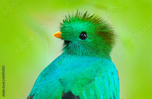 Resplendent Quetzal, Pharomachrus mocinno, from Guatemala with blurred green forest foreground and background. Magnificent sacred green and red bird. Detail portrait Resplendent Quetzal. Green trogon.