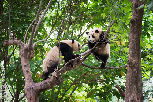 Valokuva Two giant pandas playing in a tree