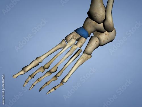 Navicular Bone, 3D Model - Buy this stock illustration and