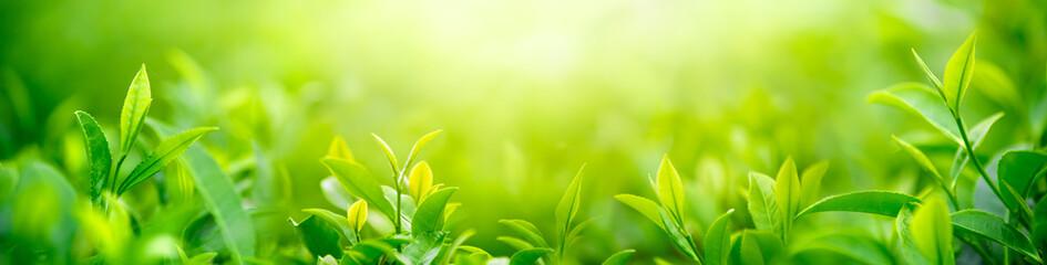 Fototapeta Do restauracji Fresh tea bud and leaves