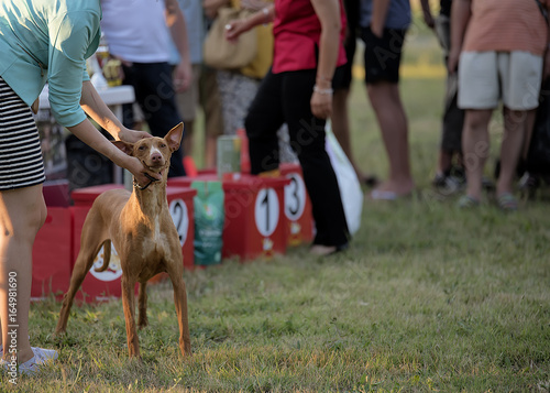 Bourgas, Bulgaria - 05.07.2017g. Exhibition of dogs. Presentation of the dog breed Pharaoh hound.