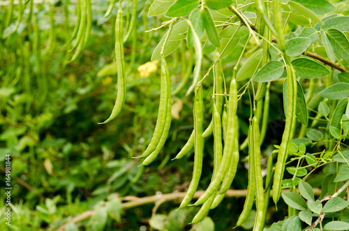 selective focus of  fresh green beans in field farm