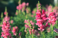 Pink Snapdragon Flower In Garden