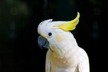 Cockatoos, Portrait, Close-up.
