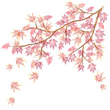 Japanese Maple (Acer Palmatum, Fullmoon Maple) Branch With Red Leaves. Hand Drawn Vector Sketch For Greeting Cards.