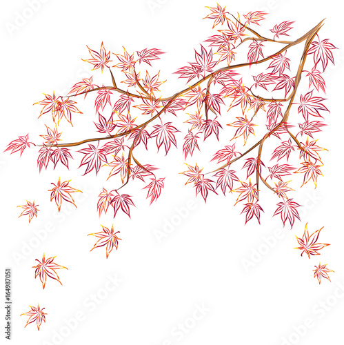 Fotografie, Obraz  Japanese maple (Acer palmatum, fullmoon maple) branch with red leaves