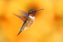 Ruby-throated Hummingbird In F...