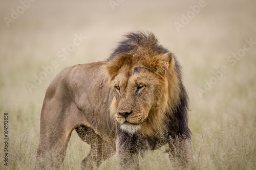 Poster Lion Big male Lion standing in the high grass.