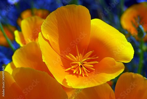 yellow california poppy flower - 164995443