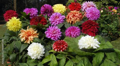 In de dag Dahlia dahlia flower cluster