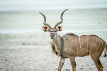 Male Kudu Starring At The Camera.