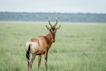 Red Hartebeest Looking Back At...