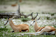 Two Springboks Laying In The Grass.