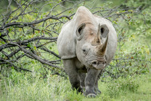Black Rhino Starring At The Ca...