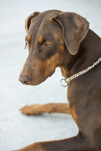 Red Doberman Pinscer Sitting I...