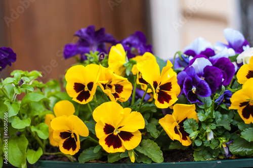 Papiers peints Pansies The photo of pansy closeup