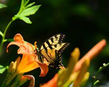 Tiger Swallowtail Butterfly On Orange Day Lily
