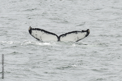 Photo  Humpback Whale fluke in Southeast Alaska
