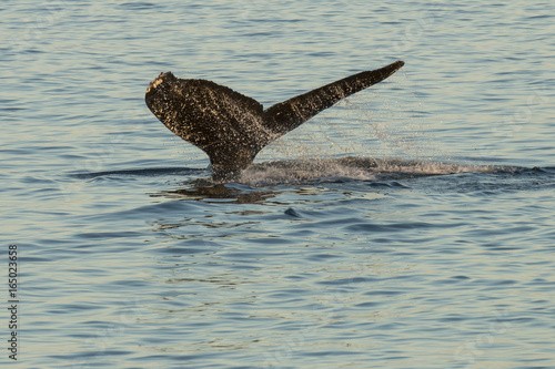 Humpback Whale fluke in Southeast Alaska Canvas