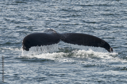 Humpback Whale fluke in Southeast Alaska Tablou Canvas