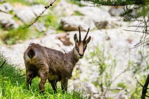 Plakat Giemza w lesie Gran Paradiso park narodowy, Aosta dolina, Włochy