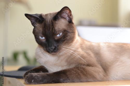 Fotografía  Gato siamés concentrado