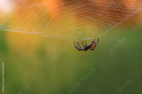 Spider on the web. The spider is waiting for its prey in the morning sun.