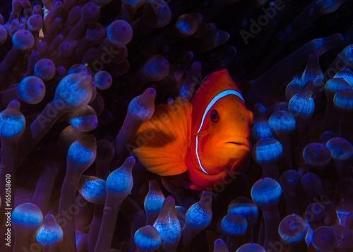 Foto Great Barrier Reef - clownfish