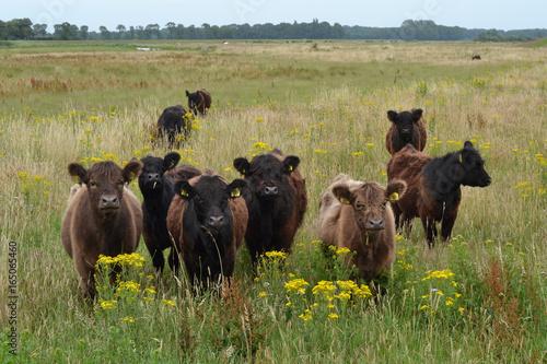 Poster Natuur Galloway koeien grazen in natuurgebied van waterbedrijf bij de rivier de Vecht
