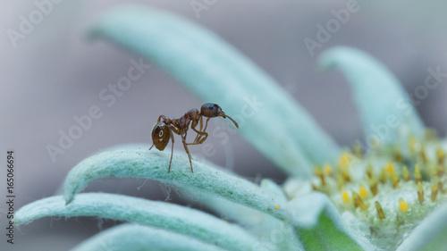 Mrówka - 165066694