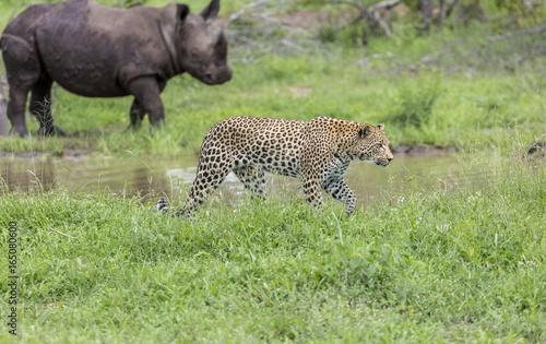 Plakat Lampart i nosorożec